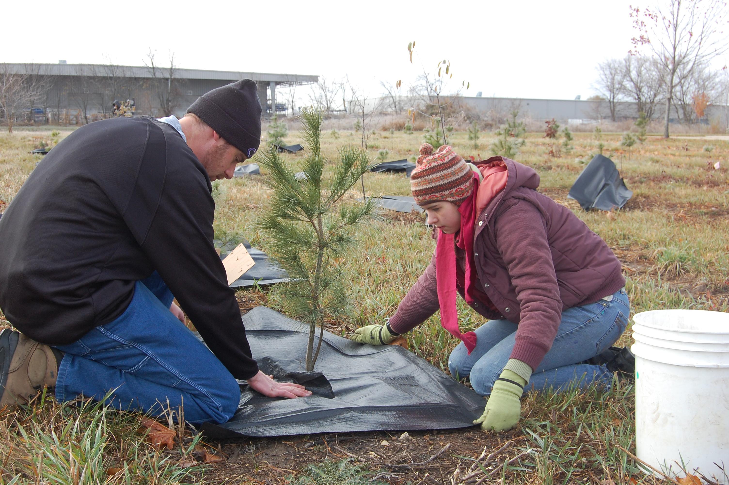 Mulching the trees